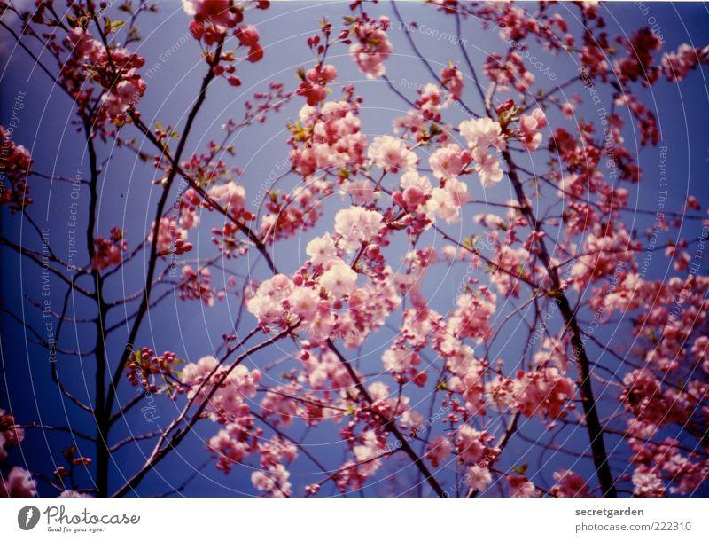 dem schnee ein rosa kontra geben! Natur Himmel blau schön Pflanze Sommer Blüte Frühling Umwelt Romantik Kitsch analog Blühend Duft chaotisch