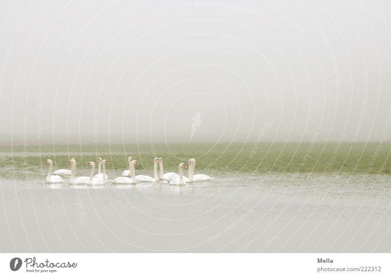 Schwanerei Umwelt Natur Tier Wetter Nebel Teich See Wildtier Tiergruppe Zusammensein hell natürlich grau grün weiß Idylle ruhig trüb trist Im Wasser treiben
