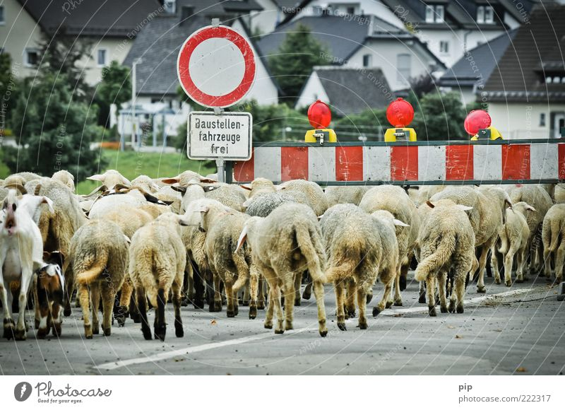 stau im baustellenbereich Kleinstadt Haus Straße Verkehrszeichen Verkehrsschild Tier Nutztier Schaf Tiergruppe Herde dreckig viele Barriere Verbote