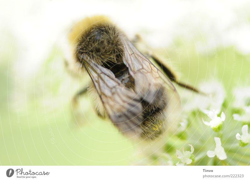 ich vermisse den Sommer Natur Tier Frühling hell sitzen Flügel Insekt zart Biene leuchten krabbeln Schönes Wetter Grünpflanze Makroaufnahme Honigbiene