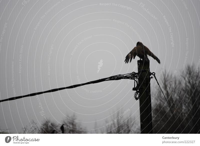 Buzzard under Current ruhig schwarz Tier Herbst grau Vogel warten hoch sitzen trist Flügel Wachsamkeit Strommast Stolz hocken schlechtes Wetter