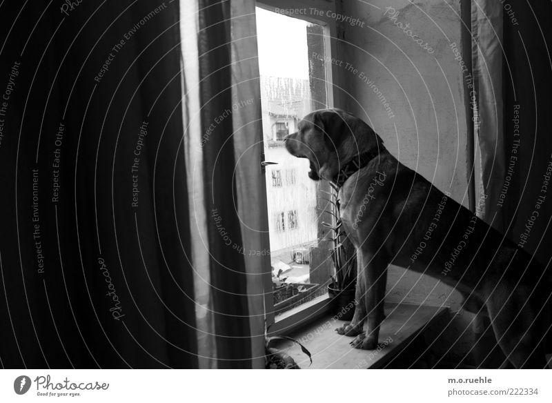 Bruno Tier Haustier Hund 1 beobachten Blick bewachen gähnen Hundekopf Hundeschnauze Hundeblick Wachsamkeit bellen Fensterbrett Fensterscheibe Schwarzweißfoto