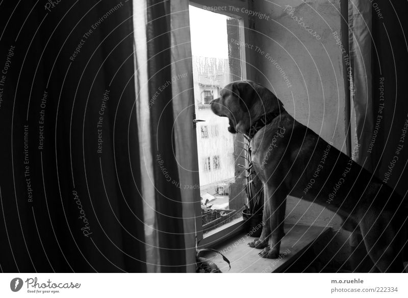 Bruno Tier Hund beobachten Wachsamkeit Fensterscheibe Schwarzweißfoto Haustier Fensterbrett bewachen gähnen Hundeblick Hundekopf Hundeschnauze