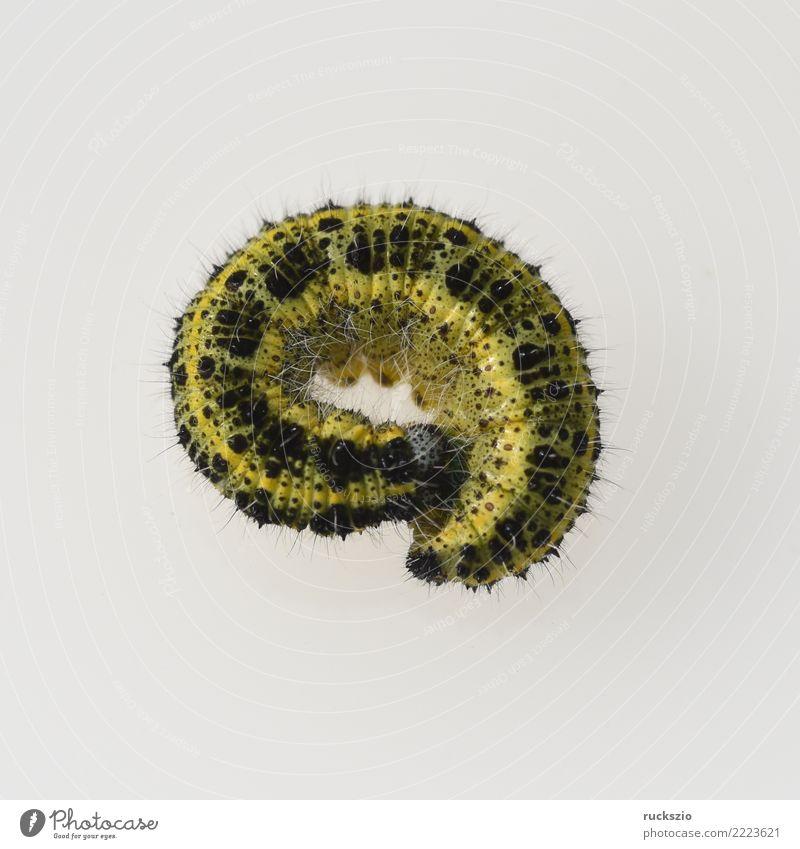 Caterpillars, large brooch, pieris, brassicae weiß Tier gelb braun Wildtier authentisch Insekt Schmetterling Großer Kohlweißling
