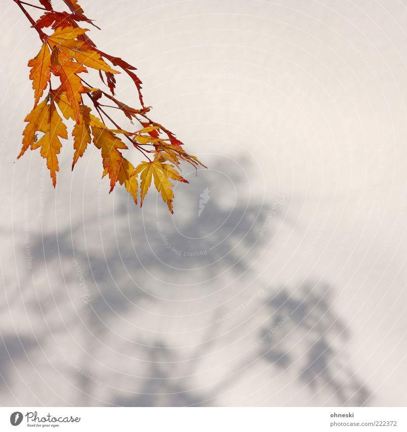Schattenwurf II Sonne Sonnenlicht Herbst Schönes Wetter Blatt ruhig Farbfoto Textfreiraum rechts Textfreiraum unten Licht Herbstfärbung herbstlich Wand