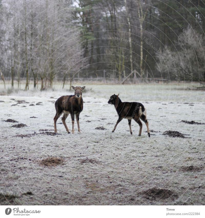 2 Rehe auf gefrorener Wiese Natur Winter Eis Frost Schnee Wald Wildtier Tier kalt Sikahirsche Schüchternheit Überraschung Maulwurfhügel Raureif Gehege Weide