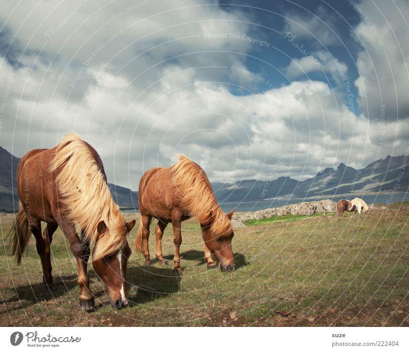 Schönes Wetter Berge u. Gebirge Umwelt Natur Tier Himmel Wolken Horizont Sommer Wind Gras Wiese Nutztier Wildtier Pferd 2 Tierpaar Fressen ästhetisch natürlich