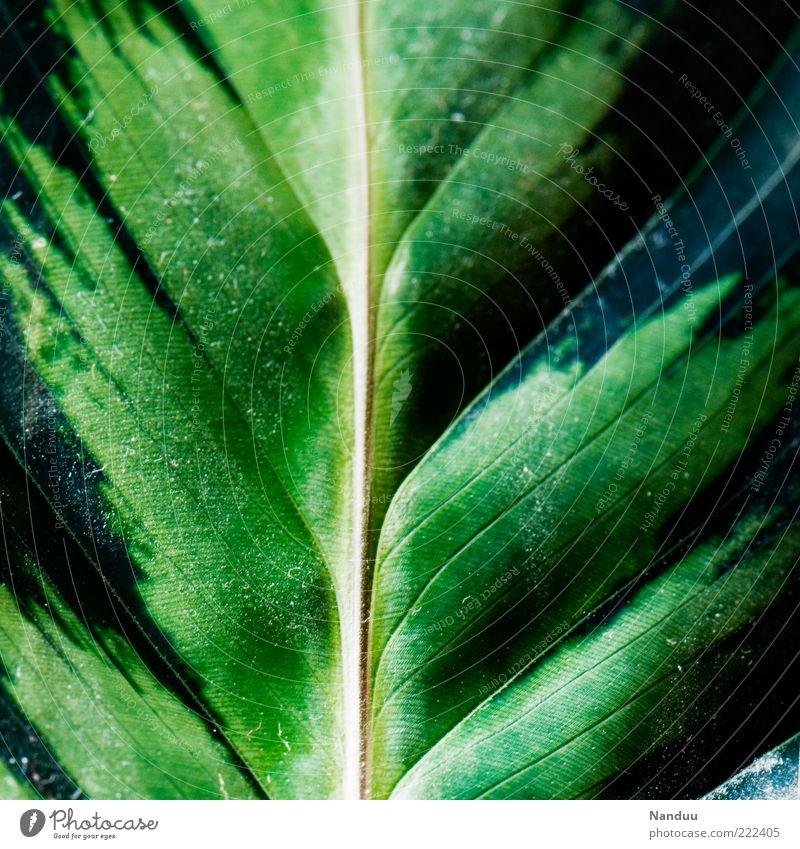 Leben. Pflanze Blatt Grünpflanze exotisch frisch zerbrechlich Blattadern Marante grün Pflanzenteile Textfreiraum links Textfreiraum rechts Menschenleer Farbfoto