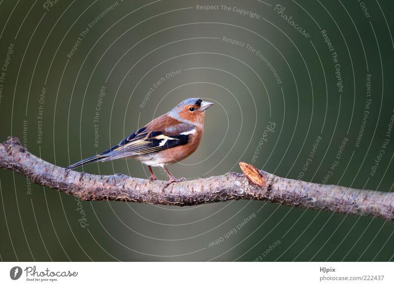 Buchfink (Fringilla coelebs) Natur Tier Vogel 1 wild Singvogel Passerine Koelebsen Briten Europäer Fink Sitzgelegenheit gehockt Tierwelt Landschaft Farbfoto
