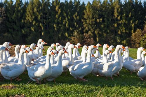 Gans(z) viele Sonnenlicht Herbst Schönes Wetter Feld Wald Tier Vögel Federvieh Entenvögel Tiergruppe laufen Glück Freiheit Hausgans Freilandhaltung Gänsemarsch