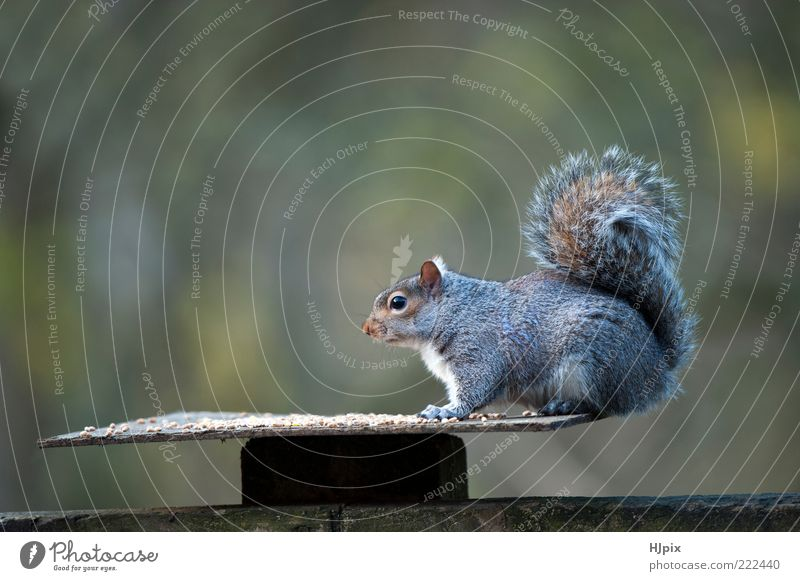 Natur Tier Herbst Garten Tisch wild Wildtier Säugetier Mensch Eichhörnchen Schädlinge Skandinavien Umwelt Möbel buschig