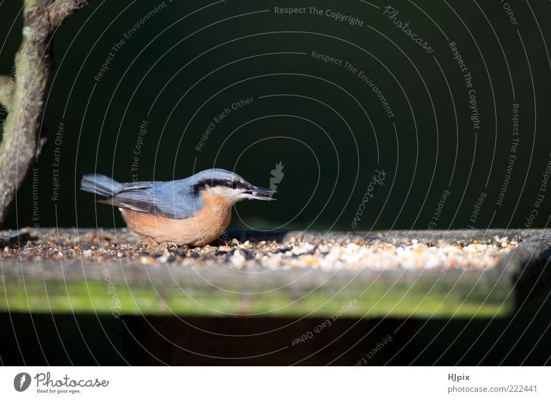 Kleiber (Sitta europaea) Garten Natur Vogel 1 Tier füttern wild Singvogel Briten Europäer Futterhäuschen Samen Waldgebiet Passerine Tierwelt Landschaft Farbfoto