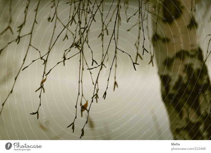 Lass die Haare wehen* Natur Baum Pflanze ruhig Herbst grau Stimmung Umwelt trist natürlich Ast Baumstamm hängen trüb Birke hängend
