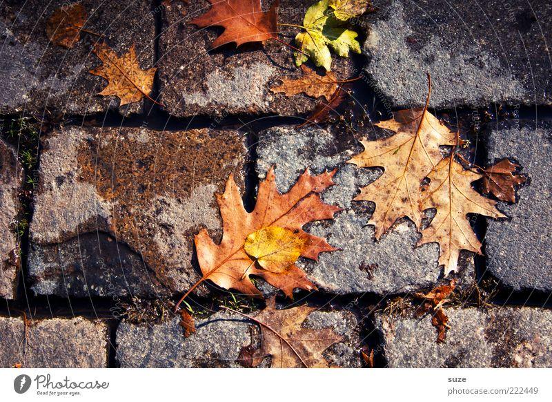 Trittfest Umwelt Natur Herbst Blatt Wege & Pfade alt authentisch dreckig Gefühle Herbstlaub herbstlich Jahreszeiten Färbung Bodenbelag Straßenbelag Ahorn platt