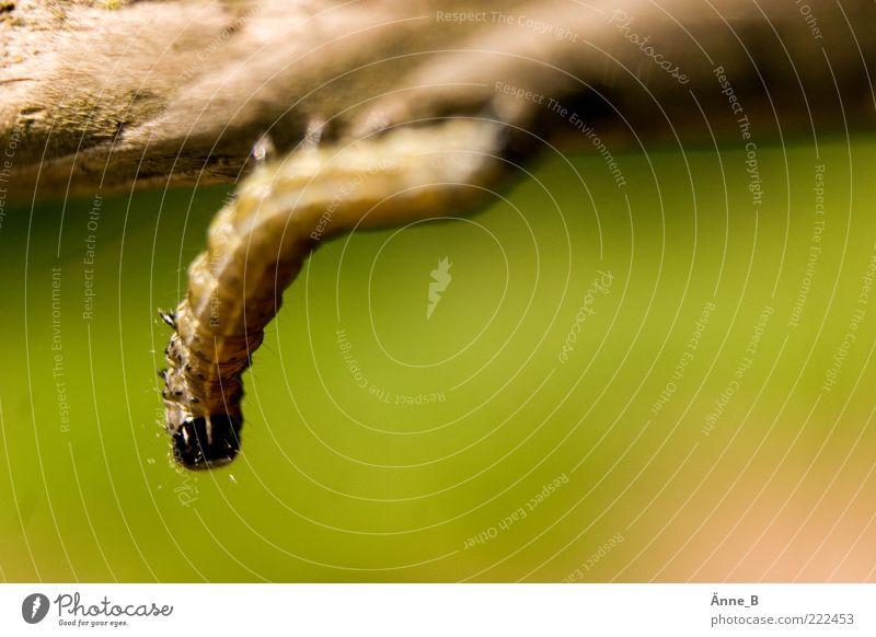 Der Cliffhanger elegant Spielen Sommer Natur Tier Raupe 1 hängen krabbeln schön braun gelb grün schwarz freihängend herunterhängend Halt Holz Menschenleer