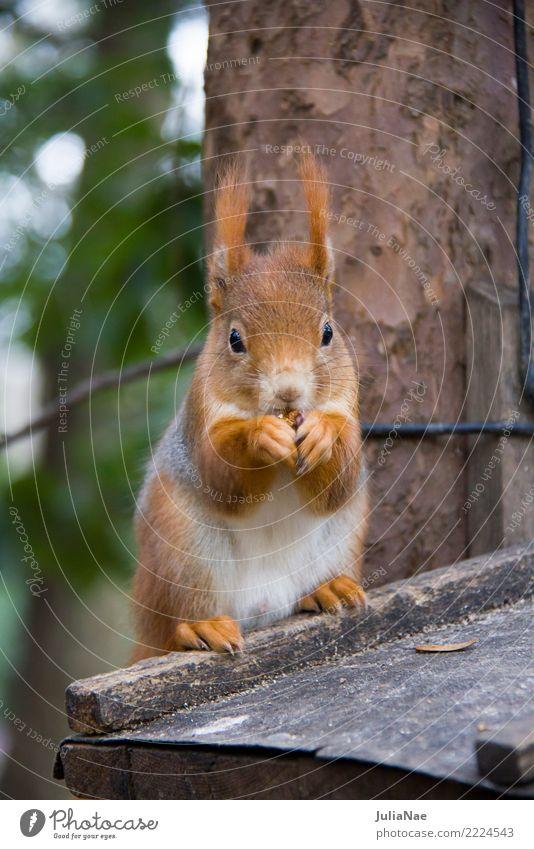 Eichhörnchen beim Fressen Wildtier niedlich Tier klein Schwanz Nagetiere Säugetier wildlife braun Fell Herbst Wald schön Natur natürlich Ohr Pfote Baum