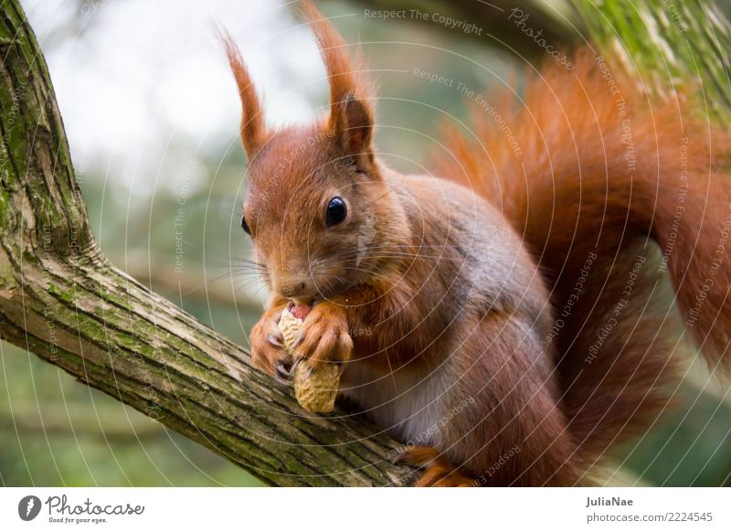 Eichhörnchen frusst eine Erdnuss Wildtier niedlich Tier klein Schwanz Nagetiere Säugetier wildlife braun Fell Herbst Wald schön Natur natürlich Ohr Pfote Baum