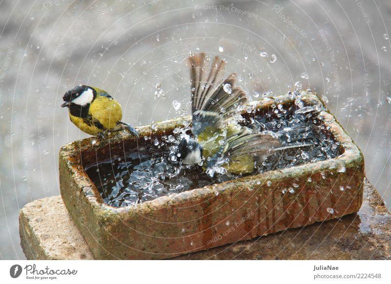 Kohlmeisen beim Baden Vogel Meisen 2 Tierpaar Singvögel Wasser baden waschen spritzen Reinigen reinigend Sauberkeit Schwimmen & Baden Außenaufnahme mehrfarbig