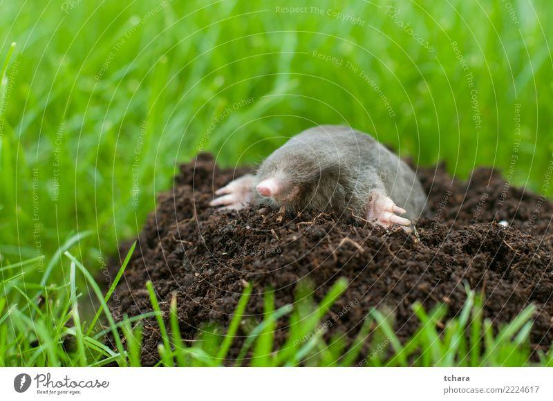 Maulwurf Natur grün Haus Tier schwarz Gesicht natürlich Gras klein Garten braun wild Erde Europa gefährlich niedlich