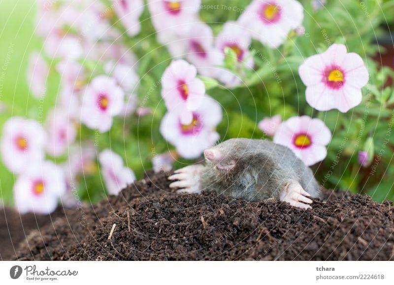 Maulwurf im Garten Natur grün Haus Tier schwarz Gesicht natürlich Gras klein braun wild Erde Europa gefährlich niedlich
