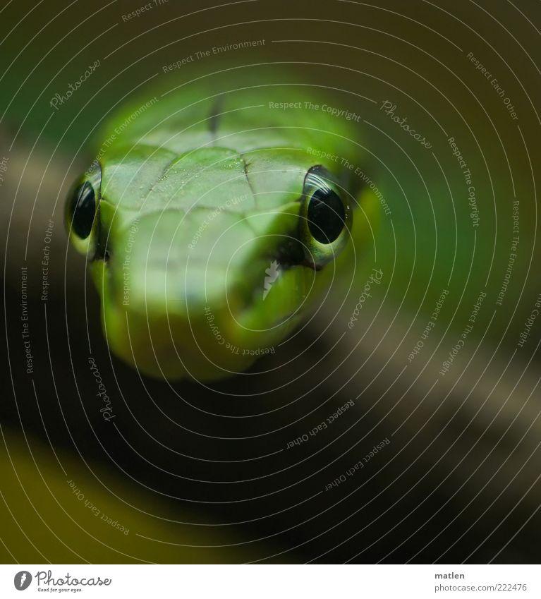 Fokus Tier Schlange 1 beobachten exotisch grün Auge fixieren fokussieren Gedeckte Farben Innenaufnahme Nahaufnahme Menschenleer Textfreiraum unten Dämmerung