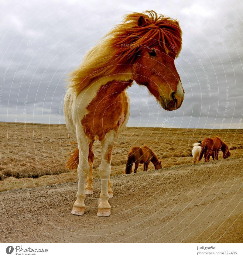 Island Natur Himmel schön Wolken Ferne Straße Wiese Wege & Pfade Landschaft Stimmung braun Umwelt warten Wind Pferd stehen