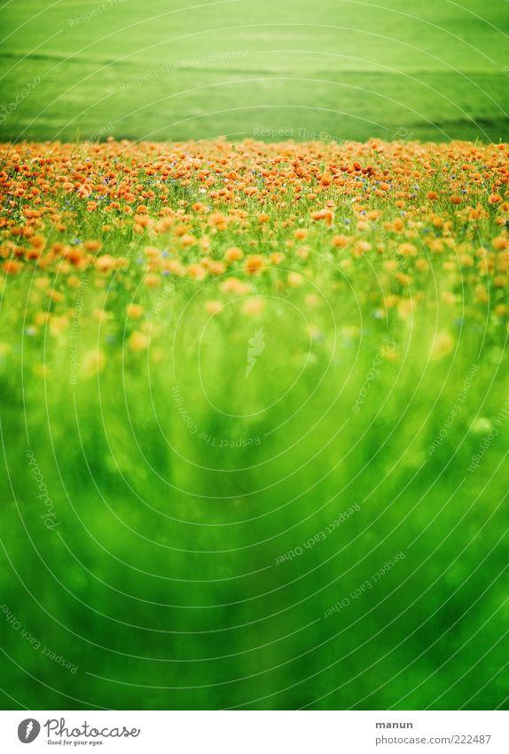 sattes Grün Lebensmittel Ernährung Bioprodukte Natur Landschaft Sommer Pflanze Gras Blüte Nutzpflanze Wildpflanze Mohn Mohnblüte Mohnfeld sommerlich Wiese