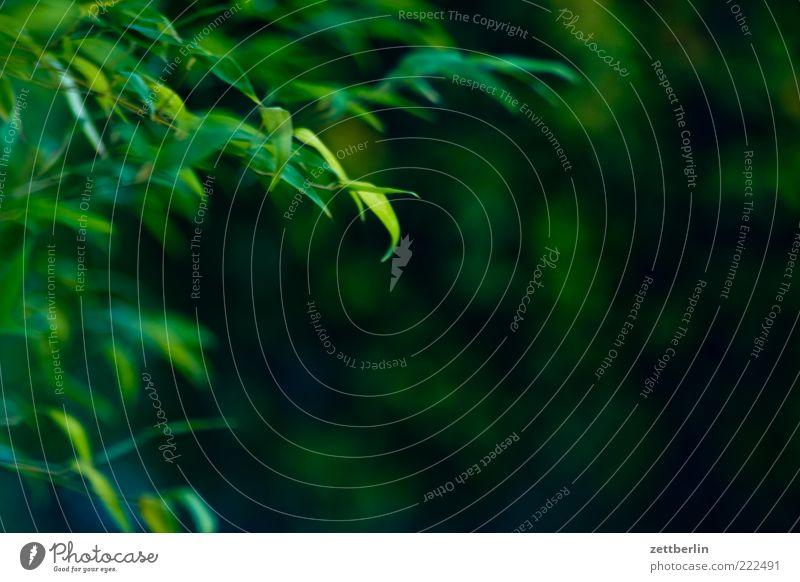 Bambus Natur grün Pflanze Sommer Blatt Sträucher Ast Zweig saftig Hecke Oktober Grünpflanze Zweige u. Äste