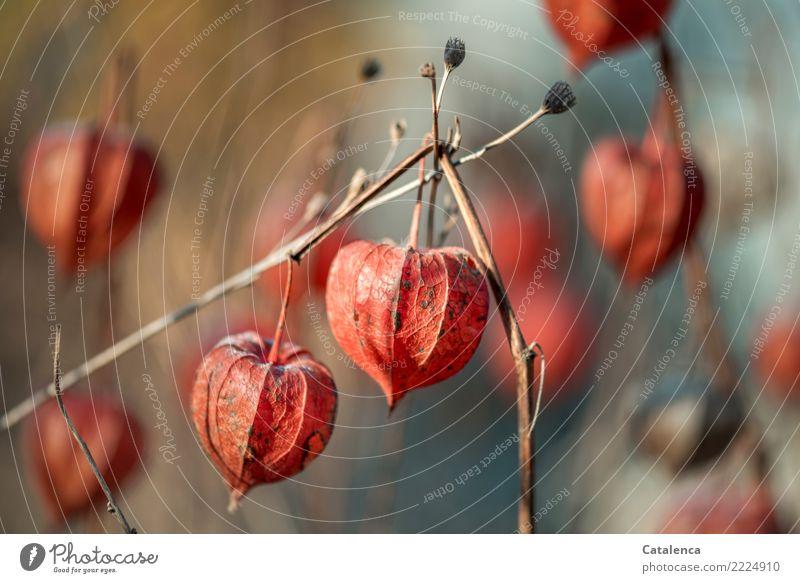 Lampions Natur Pflanze Winter Schönes Wetter Physalis Lampionblume Garten alt hängen dehydrieren schön braun orange silber türkis Stimmung Fortpflanzung Design