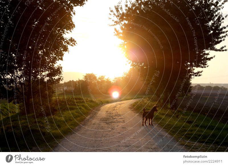 spätsommer sonne Natur Hund Sommer Sonne Landschaft Erholung Tier ruhig Straße Umwelt Herbst Wege & Pfade Stimmung leuchten Feld gold