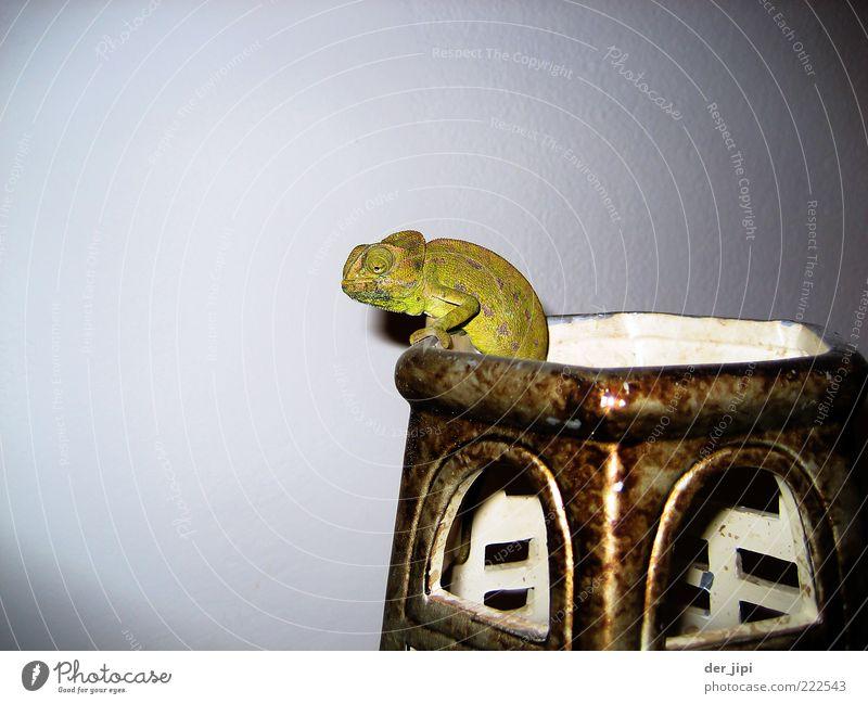 Sepp Tier Schuppen Krallen Pfote 1 warten Chamäleon Reptil Echsen Vase Behälter u. Gefäße Farbfoto Innenaufnahme Studioaufnahme Detailaufnahme Menschenleer