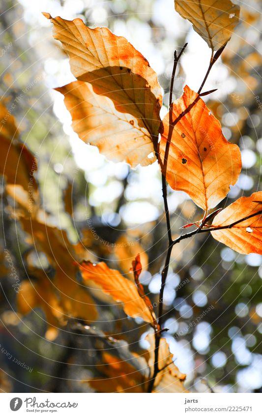 herbstlich III Pflanze Herbst Schönes Wetter Baum Blatt Wald frisch Gesundheit hell natürlich braun orange rot Gelassenheit ruhig Natur Buche Farbfoto