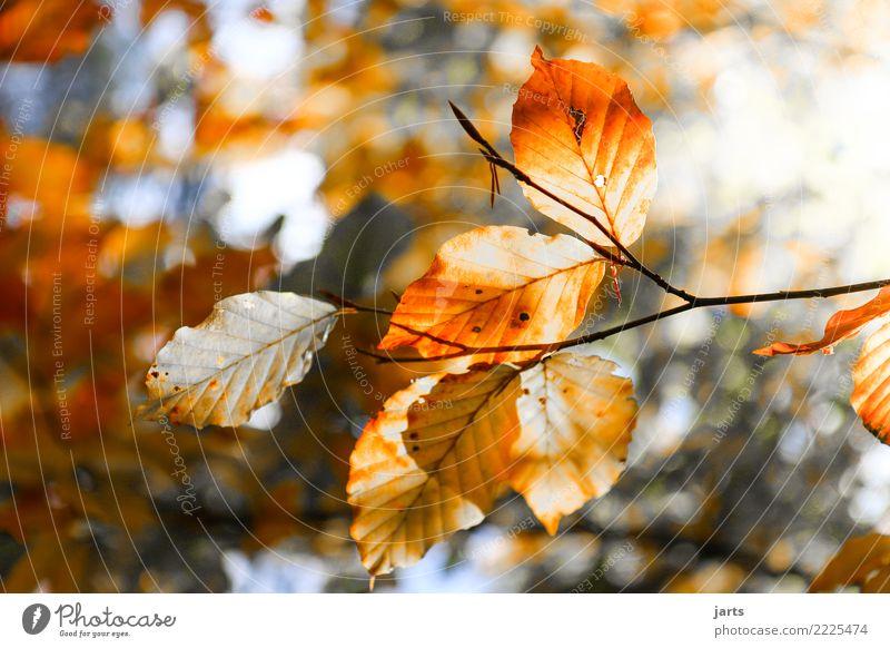 ein stück vom herbst II Natur Herbst Schönes Wetter Pflanze Baum Blatt Wald frisch hell natürlich schön Zufriedenheit Gelassenheit geduldig ruhig Hoffnung