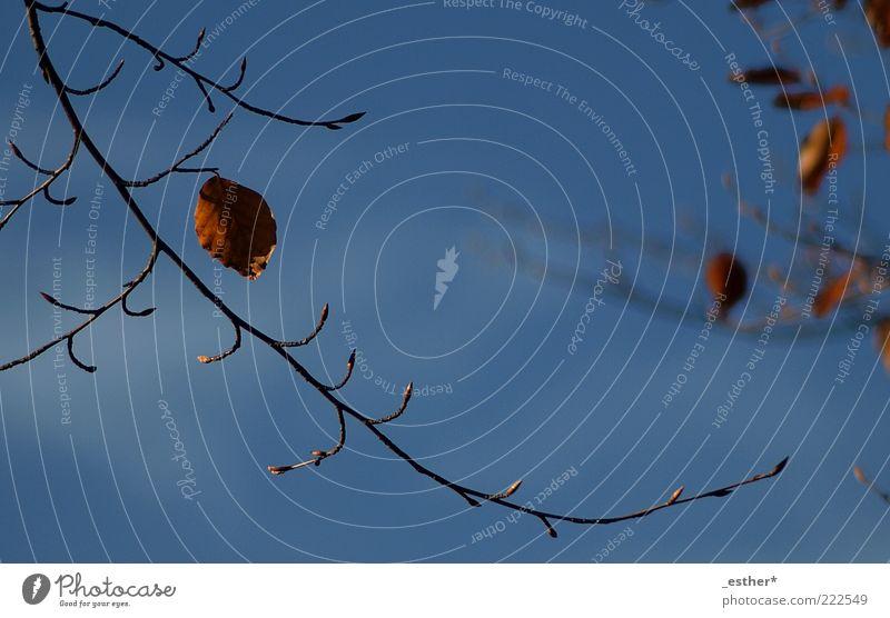 sonniger Herbst Natur Himmel blau schön Blatt kalt oben braun hoch ästhetisch Wandel & Veränderung natürlich Vergänglichkeit Zweig Leichtigkeit