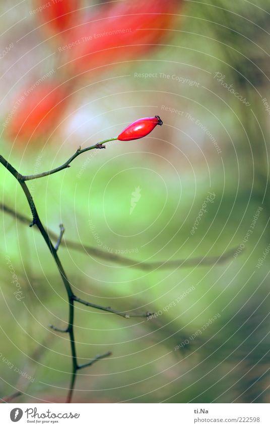 eine HG Butte Umwelt Natur Pflanze Herbst Sträucher Wildpflanze Rosengewächse Wildrosen Wachstum authentisch natürlich grün rot Farbfoto Außenaufnahme