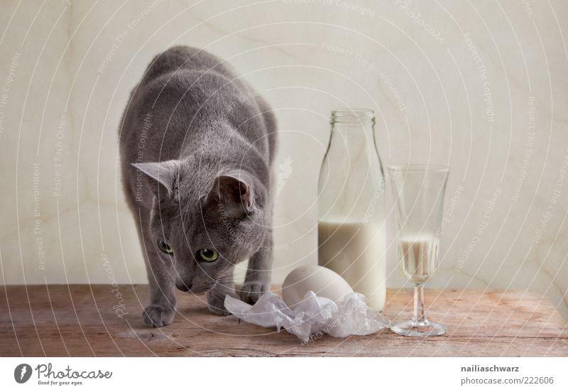 Katze und Milch Lebensmittel Milcherzeugnisse Ei Hühnerei Ernährung Getränk Flasche Glas Tisch Tier Haustier 1 Holz ästhetisch hell Neugier braun grau silber