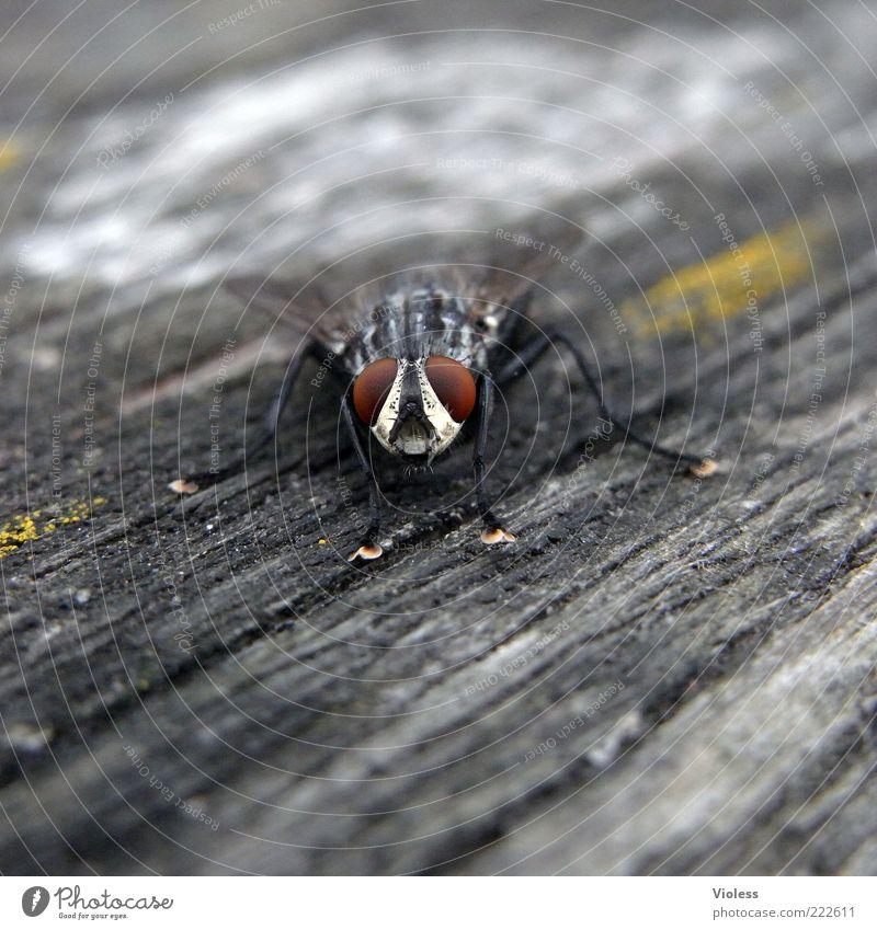 Schau mir in die Augen Tier grau Fliege Tiergesicht Flügel Neugier Blick Facettenauge Schmeißfliege Holzuntergrund