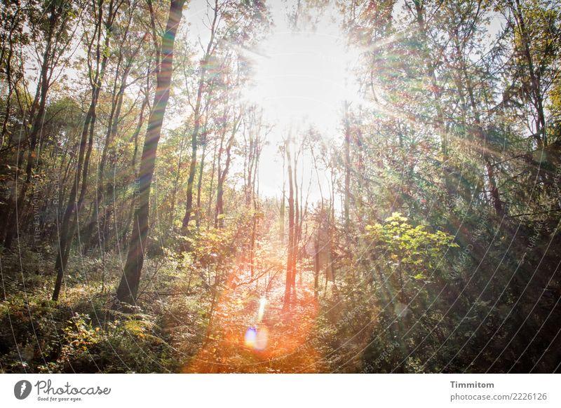 Wald, herbstlich. Umwelt Natur Pflanze Himmel Sonne Sonnenlicht Herbst Schönes Wetter Baum hell natürlich braun grün orange Blendenfleck strahlenförmig Farbfoto