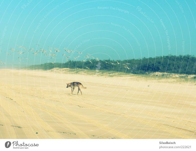 Einsamer Dingo Strand Einsamkeit Tier Sand Hund Vogel Insel Wildtier Nahrungssuche Vogelschwarm Sandstrand