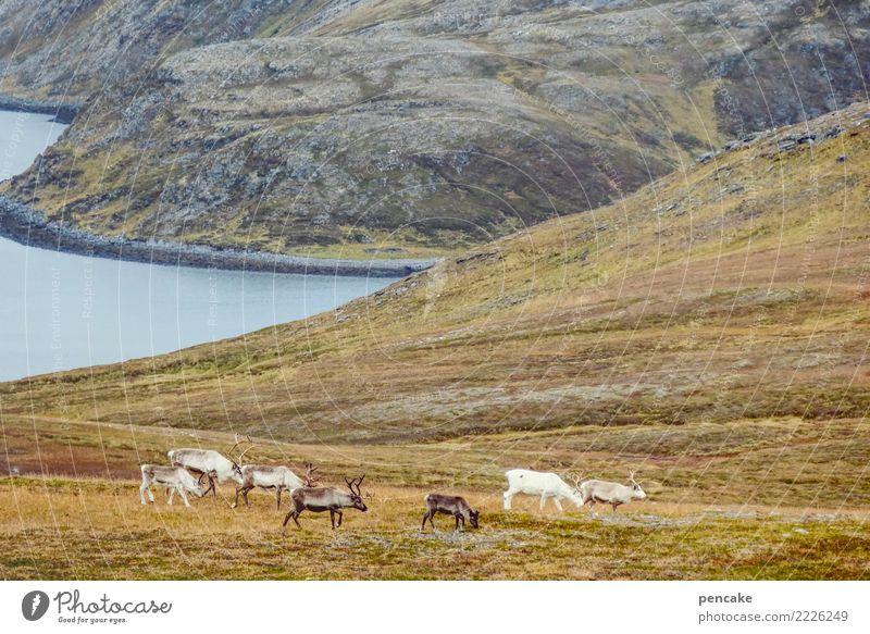 treiben lassen Natur Landschaft Urelemente Erde Wasser Himmel Herbst Hügel Felsen Berge u. Gebirge Küste Fjord Wildtier Tiergruppe Herde Zufriedenheit