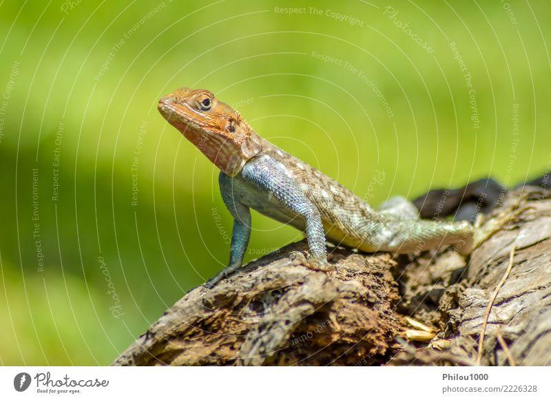 Eidechse aller Farben auf einem Stamm in einem Garten exotisch Haut Natur Tier Leder Haustier Hund Katze Schlange alt wild grün weiß Amphibie Hintergrund