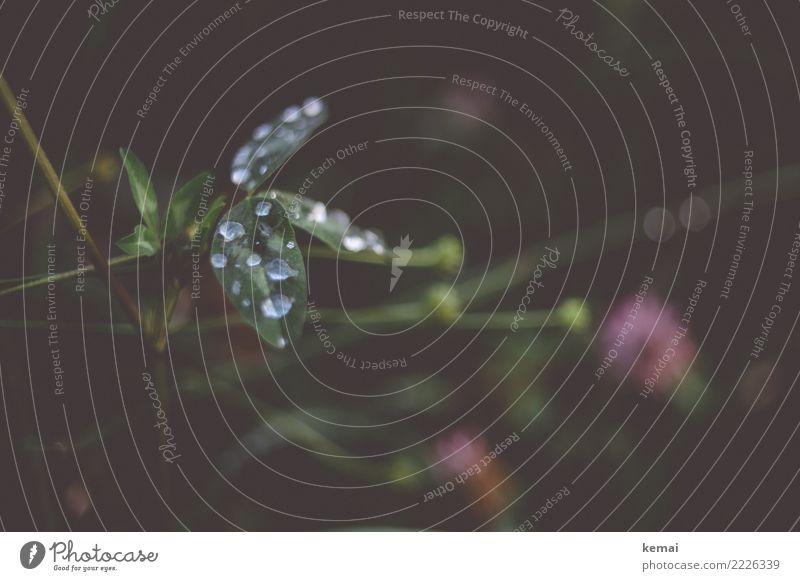 Wasserperlen Leben Sinnesorgane Umwelt Natur Pflanze Wassertropfen Herbst Regen Blatt Grünpflanze Wildpflanze Klee Kleeblatt Wiese Wachstum ästhetisch dunkel