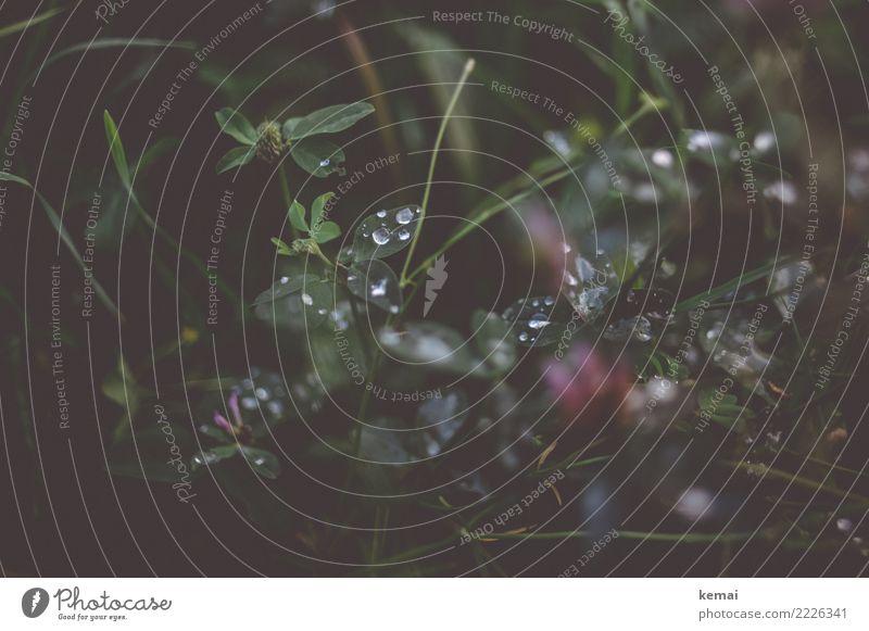 Klee harmonisch Wohlgefühl Zufriedenheit ruhig Natur Pflanze Wasser Wassertropfen Sommer Regen Gras Wildpflanze Kleeblatt Wiese Tau authentisch dunkel frisch