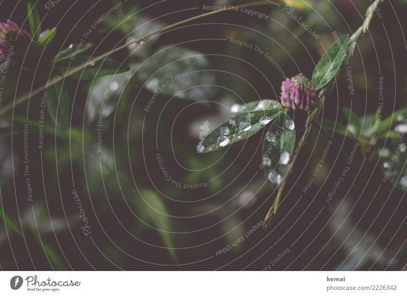 Tau harmonisch Wohlgefühl Sinnesorgane Erholung ruhig Freizeit & Hobby Natur Pflanze Wasser Wassertropfen Sommer Blatt Grünpflanze Wildpflanze Kleeblatt