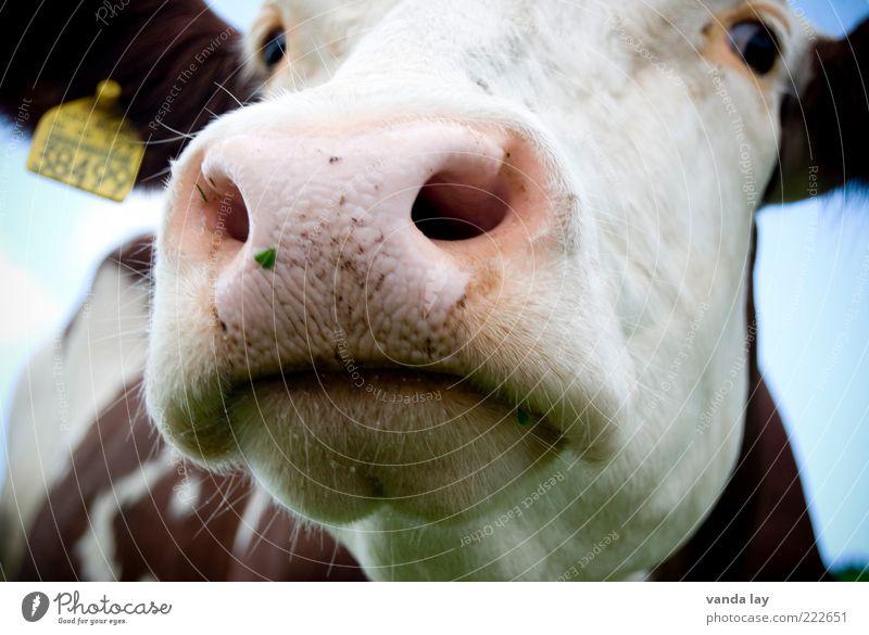 Bauer sucht Frau Auge Tier Schilder & Markierungen Nase Ohr Rind Kuh Schnauze Maul Nutztier