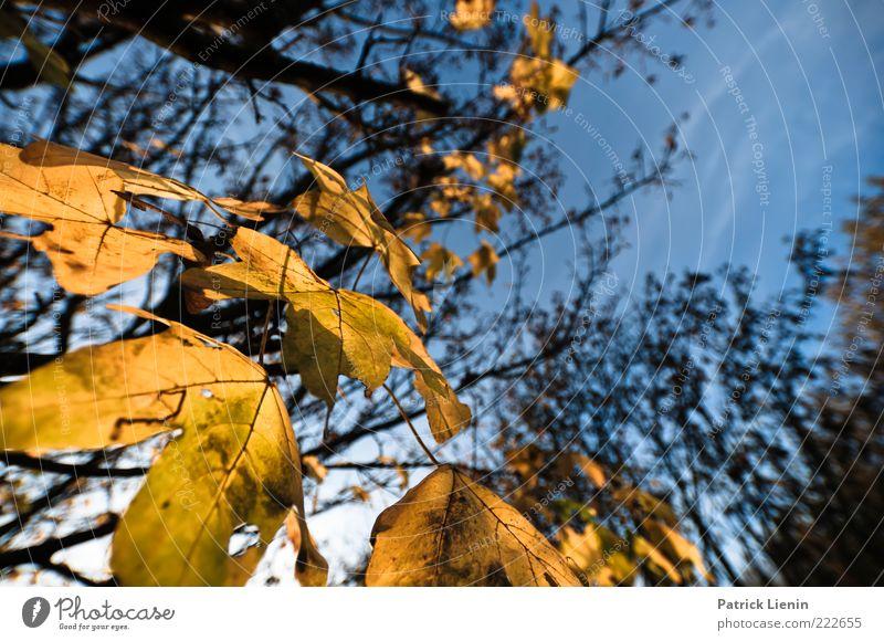 gone for good Umwelt Natur Pflanze Luft Himmel Herbst Wetter Schönes Wetter Baum Blatt Grünpflanze Wildpflanze natürlich braun gelb Ahorn blau Verfall