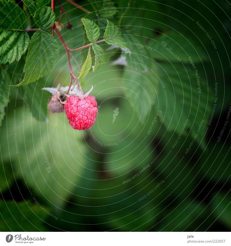 HAPPY BIRTHDAY PHOTOCASE! Lebensmittel Frucht Himbeeren Natur Pflanze Blatt Nutzpflanze Gesundheit Farbfoto Außenaufnahme Menschenleer Tag Starke Tiefenschärfe