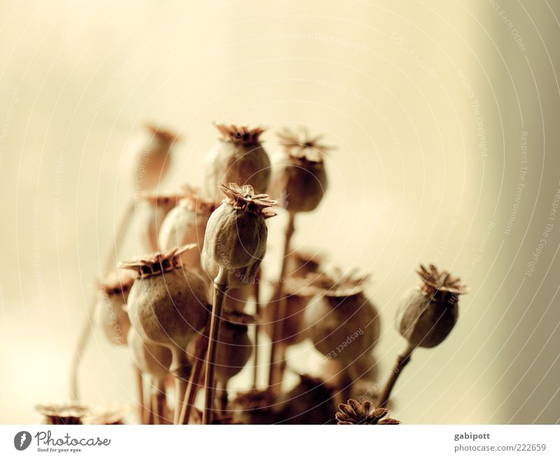 HAPPY BIRTHDAY PHOTOCASE! Pflanze Blume Blüte Nutzpflanze Wildpflanze Mohnkapsel Stengel trocken ästhetisch Trockenblume getrocknet beige hell leicht