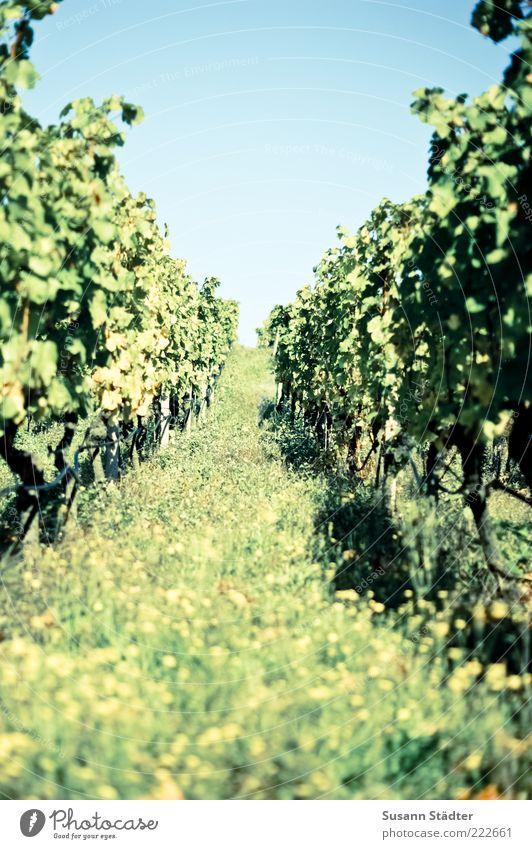 Happy Birthday PHOTOCÄSE!!! Blume Sommer Gras Landschaft Feld Horizont Wein Sträucher Reihe Schönes Wetter Grünpflanze Weinberg Nutzpflanze Wolkenloser Himmel