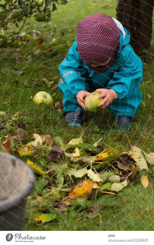 Apfel untersuchen Frucht Spielen Garten Kind 1 Mensch 1-3 Jahre Kleinkind Umwelt Natur Herbst Blatt Apfelbaum Wiese Regenhose Mütze beobachten berühren